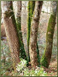 Chêne à 5 troncs au Parc de la Chêneraie à Gujan-Mestras (Bassin d'Arcachon)