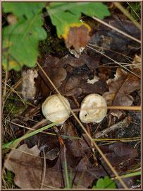 Bébés Amanites Citrine en forêt sur le Bassin d'Arcachon