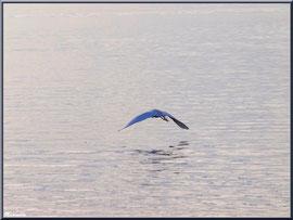 Aigrette en vol sur le Bassin à Arcachon en bord de mer