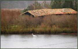 Aigrette dans un réservoir devant une cabane sur le Sentier du Littoral, secteur Moulin de Cantarrane, Bassin d'Arcachon