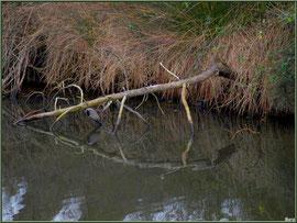 Branche de pin et ses reflets dans un réservoir sur le Sentier du Littoral, secteur Moulin de Cantarrane, Bassin d'Arcachon