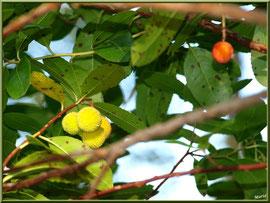 Arbousier et ses fruits à différent stade de mûrissement, flore sur le Bassin d'Arcachon (33)