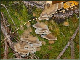 Polypore Versicolore ou Polypore à couleur variable en forêt sur le Bassin d'Arcachon