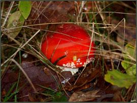 Jeune Amanite Tue-mouches en forêt sur le Bassin d'Arcachon