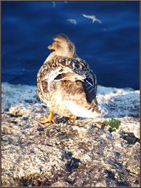 Madame canard secoue la queue au Parc de la Chêneraie à Gujan-Mestras (Bassin d'Arcachon)
