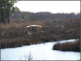 Aigrette en vol au-dessus des réservoirs sur le Sentier du Littoral, secteur Moulin de Cantarrane, Bassin d'Arcachon