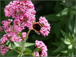 Valérianes et papillon Vulcain au détour d'une ruelle à Talmont-sur-Gironde (Charente-Maritime)