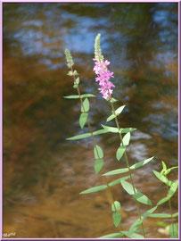 Salicaires Communes ou Herbes aux Coliques en bordure du Canal des Landes au Parc de la Chêneraie à Gujan-Mestras (Bassin d'Arcachon)