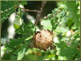 Chêne,gland et boule du chêne au Parc de la Chêneraie à Gujan-Mestras (Bassin d'Arcachon)