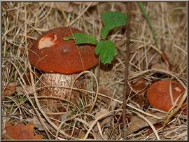 Jeunes Bolets orangés en forêt sur le Bassin d'Arcachon