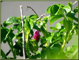 Rosier Sauvage ou Eglantier ou Eglantier des Chiens ou Rosier des Haies ou Rosier des Chiens ou Rosa Canina, flore Bassin d'Arcachon (33)