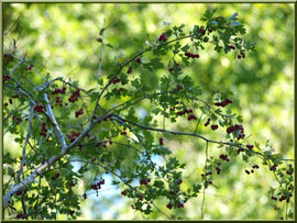 Aubépine et ses baies, flore sur le Bassin d'Arcachon (33)