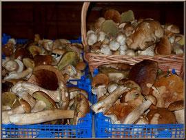 Belle cueillette de Cèpes de Bordeaux ou Bolet de la forêt du Bassin d'Arcachon