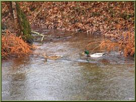 Canard au fil du Canal des Landes au Parc de la Chêneraie à Gujan-Mestras (Bassin d'Arcachon)
