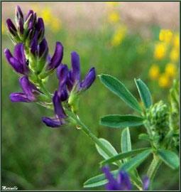 Luzerne violette, flore Bassin d'Arcachon (33)
