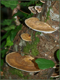 Amadouvier des Pins ou Polypore Marginé en forêt sur le Bassin d'Arcachon