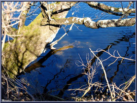 Vieux chêne et ses reflets dans un réservoir, Sentier du Littoral, secteur Moulin de Cantarrane, Bassin d'Arcachon
