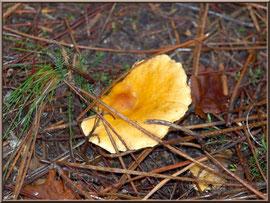 Clitocybe Orangé en forêt sur le Bassin d'Arcachon