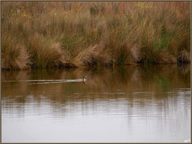 Harle Huppé dans un réservoir sur le Sentier du Littoral côté Bassin, secteur Moulin de Cantarrane, Bassin d'Arcachon