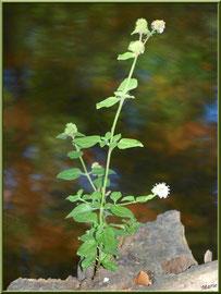 Menthe sauvage en fleurs au pied d'une souche en bordure du Canal des Landes au Parc de la Chêneraie à Gujan-Mestras (Bassin d'Arcachon)