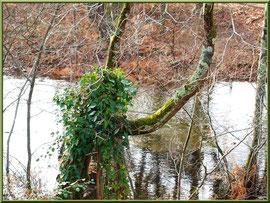 Lierre sur chêne en bordure du en bordure du Canal des Landes au Parc de la Chêneraie à Gujan-Mestras (Bassin d'Arcachon)