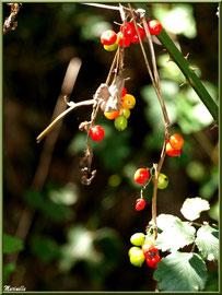 """Baies de tamier ou """"raspounchou"""" ou Herbe aux femmes battues au soleil, flore sur le Bassin d'Arcachon (33)"""