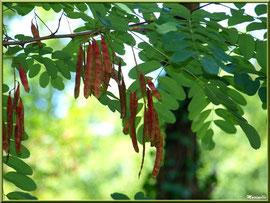 Robinier ou (faux) Acacia et ses gousses de fruits, flore Bassin d'Arcachon (33)
