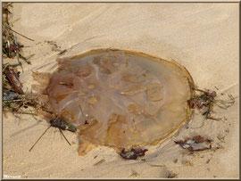 Méduse échouée sur la plage Péreire à Arcachon, Bassin d'Arcachon (33)