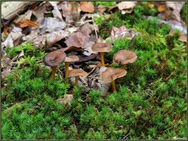 Chanterelles en forêt sur le Bassin d'Arcachon