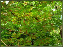 Feuillage automnal du Marronnier d'Inde ou Marronnier Commun, flore Bassin d'Arcachon (33)