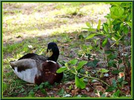 Canard au repos au Parc de la Chêneraie à Gujan-Mestras (Bassin d'Arcachon)