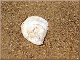 Coquille d'huître sur le sable de la plage côté Bassin sur le Sentier du Littoral, secteur Moulin de Cantarrane, Bassin d'Arcachon
