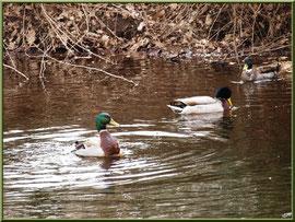 Canards Colvert au fil du Canal des Landes au Parc de la Chêneraie à Gujan-Mestras (Bassin d'Arcachon)