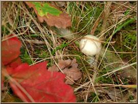 Bébé Amanite Citrine en forêt sur le Bassin d'Arcachon