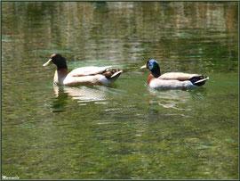 Canards au fil de l'eau du lac à la Pisciculture des Sources à Laruns, Vallée d'Ossau (64)