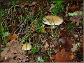 Amanites Phalloïdes en forêt sur le Bassin d'Arcachon
