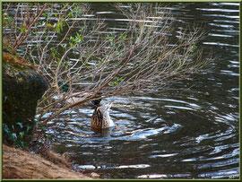 Canard en plongée au Parc de la Chêneraie à Gujan-Mestras (Bassin d'Arcachon)