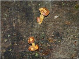 Champignons arboricoles en forêt sur le Bassin d'Arcachon