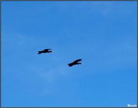 Cormorans en vol au-dessus du Sentier du Littoral, secteur Moulin de Cantarrane, Bassin d'Arcachon