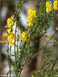 Genêt en fleurs au Parc de la Chêneraie à Gujan-Mestras (Bassin d'Arcachon)