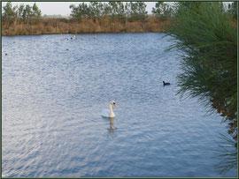 Cygne et Foulques dans un réservoir sur le Sentier du Littoral, secteur Moulin de Cantarrane, Bassin d'Arcachon