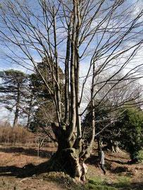 根元付近がやたらと太い木。なんの木でしょう?