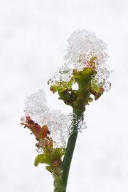 1er : Fleur givrée, photo de Didier Mongard