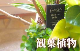 お求めになりやすい価格の観葉植物
