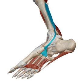 後脛骨筋(足底)
