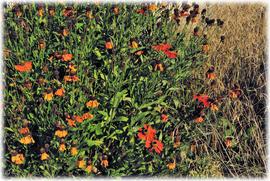 Echinacea - Der Sonnenhut