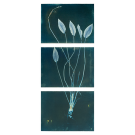 Aquatic plant with roots No. 2, (Tryptich on Hanhnemühle paper, 95 x 40 cm)