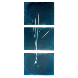 Aquatic plant with roots No. 1, (Tryptich on Hanhnemühle paper, 95 x 40 cm)