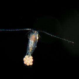 Der einen Millimeter kleine Ruderfusskrebs (Copepoda) trägt an seiner Schwanzflosse den Nachwuchs. © Robert Hansen