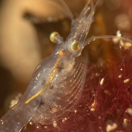 Die transparente Donau-Schwebegarnele (Limnomysis benedeni) im Kontrast zum Algenbüschel. © Robert Hansen